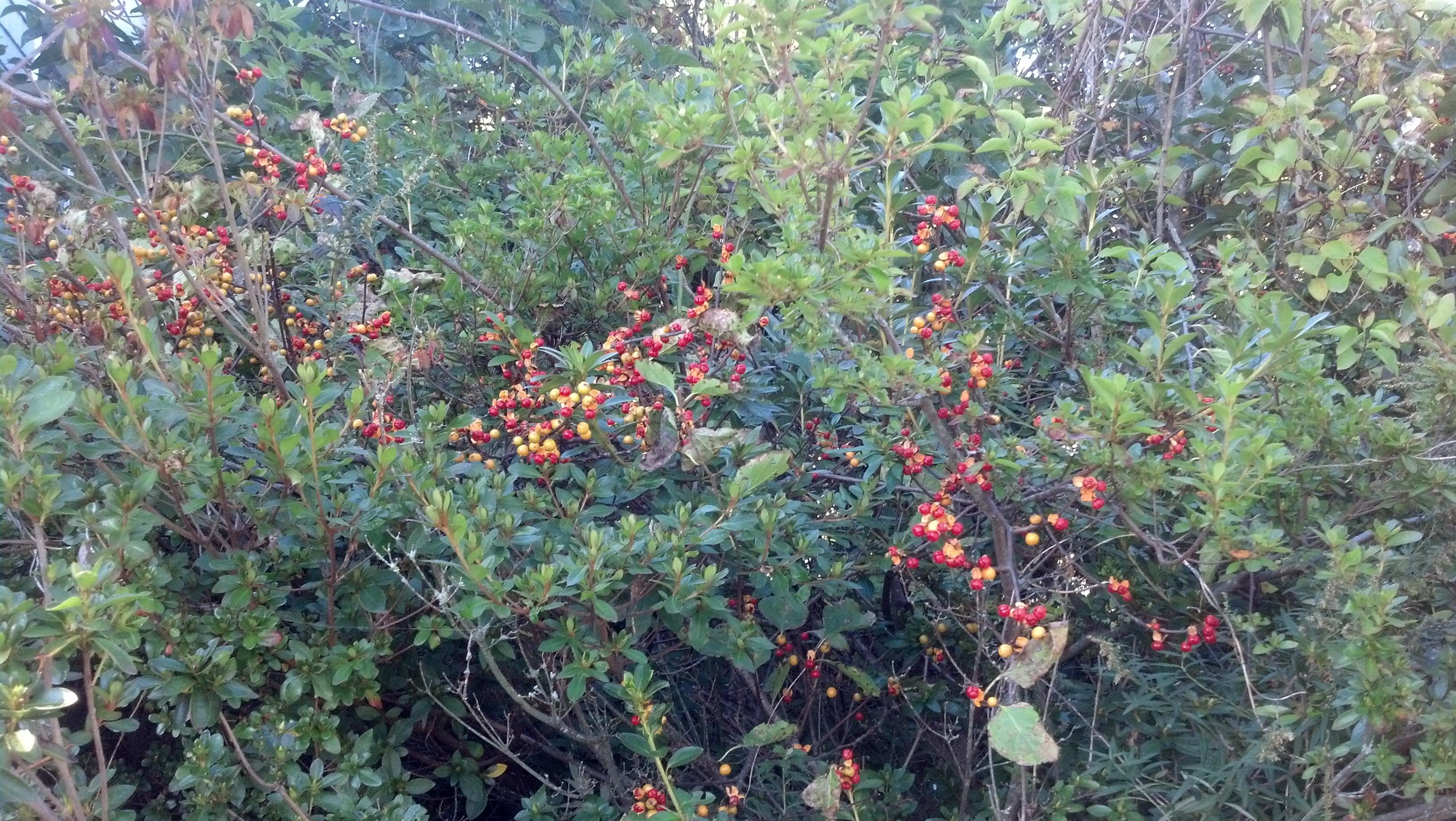 caring for oriental bittersweet in massachusetts cedarlawn tree